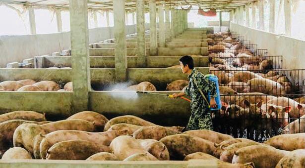 নতুন ভাইরাস সোয়াইন ফিভার মহামারী আকারে ছড়াচ্ছে চীন, তথ্য গোপনের চেষ্টা